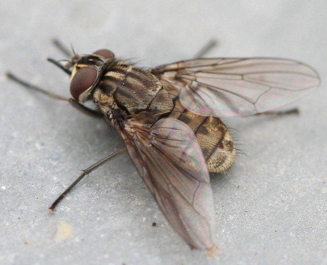 Внешний вид и основные особенности паразита схожи с обычными мухами