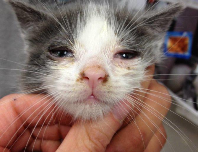 Внешний вид кошки, больной микоплазмозом