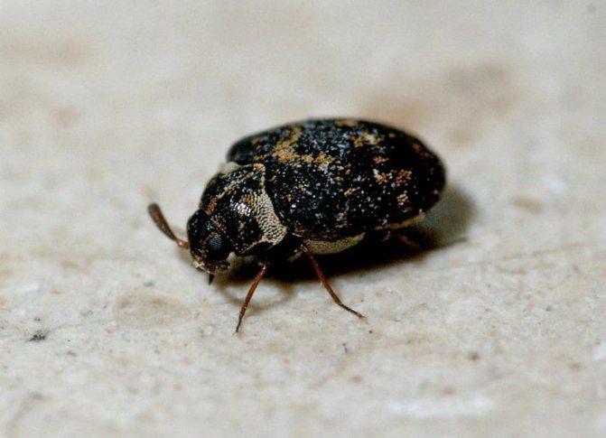 Внешний вид жука