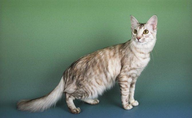 внешность фванской кошки