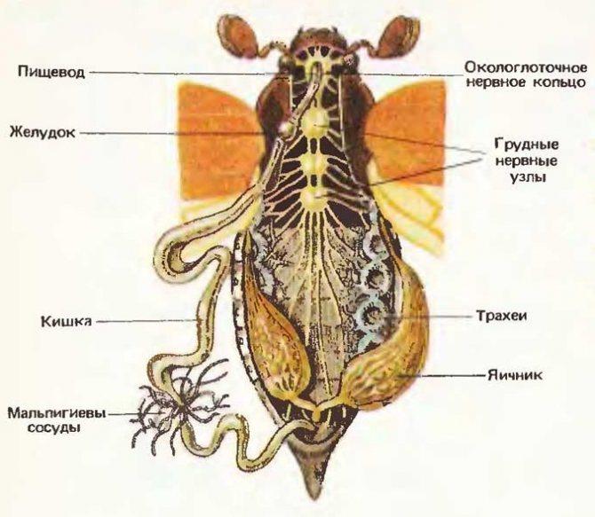 Внутренне строение майского жука
