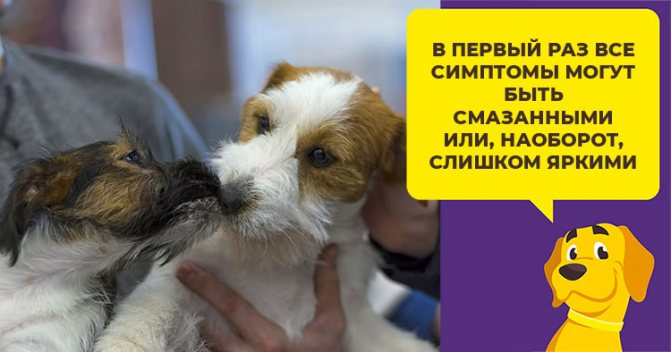 Во сколько лет у собак начинается течка: как заметить первые признаки