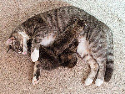 во время беременности организм кошки уязвим для болезней и инфекций