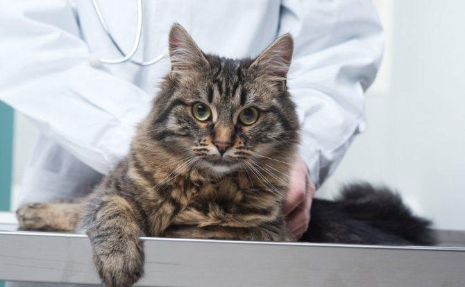 Во время проведения анализа у кошки берут венозную кровь