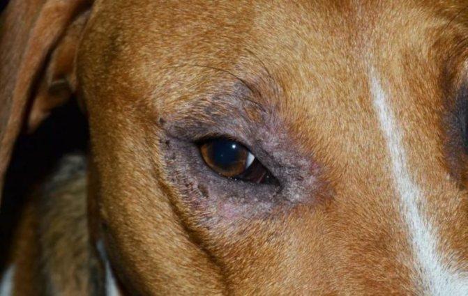 Вокруг глаз собаки выпадает шерсть