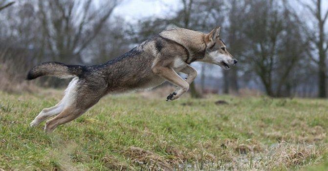 волчья собака сарлоса активная порода