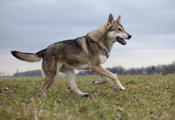 волчья собака сарлоса фото