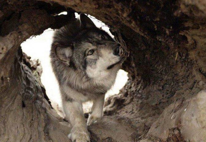 волчья собака сарлоса имеет инстинкт охотника