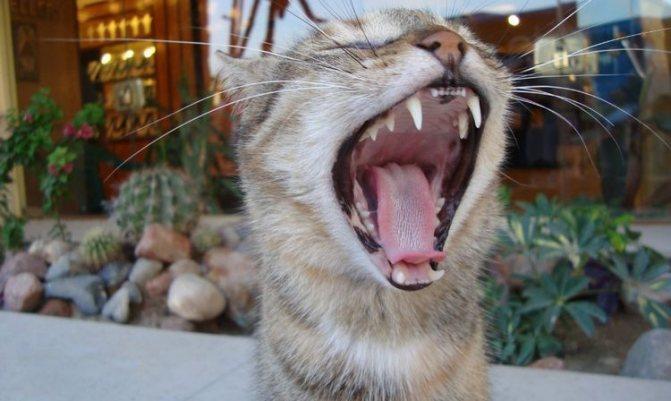 Воспаление десен у кошки