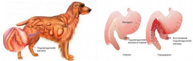 воспаление поджелудочной у собаки при рвоте