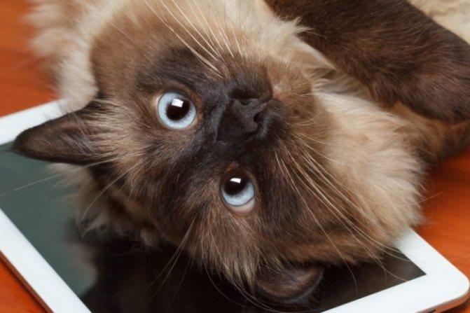 Воспитание балинезийской кошки