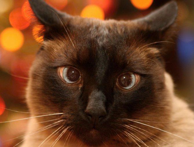 Воспитание сиамской кошки