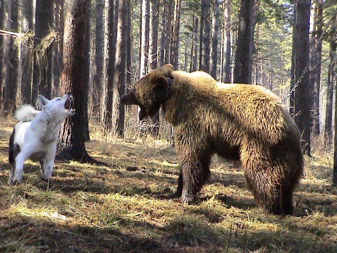 Восточно-сибирская лайка и медведь