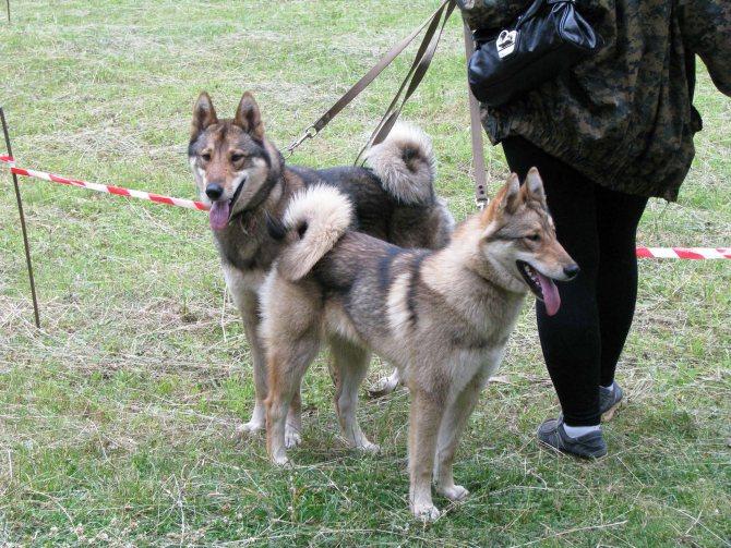 Восточно-сибирская лайка собака