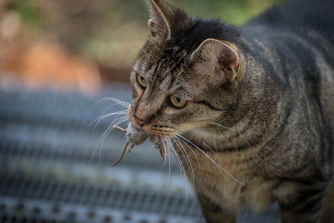 возбудитель лептоспироза у кошек