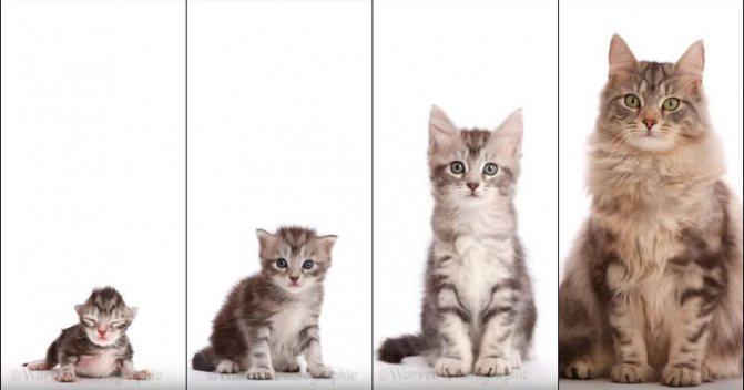 Возраст кошки по человеческим меркам, таблица