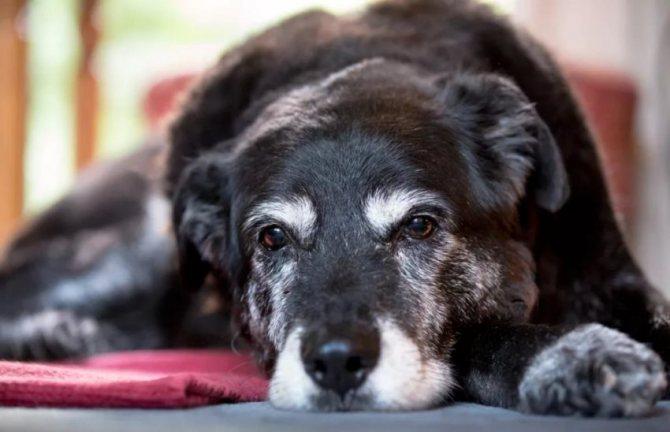 возраст собаки по шерсти