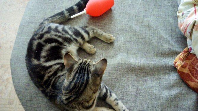 Вряд ли кошка оценит клизму, но её польза для питомца несомненна