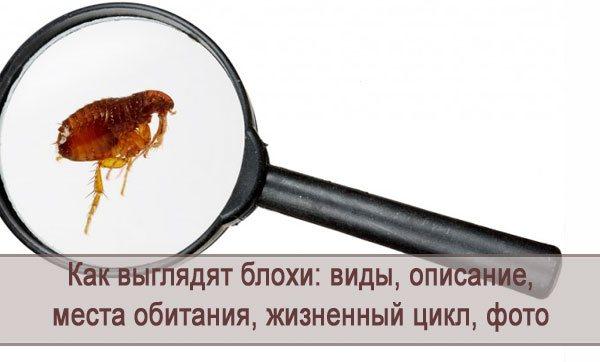 Блоха в микроскоп