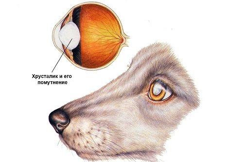 Все о зеркалах души: мутные глаза у собаки - самые вероятные причины пленки