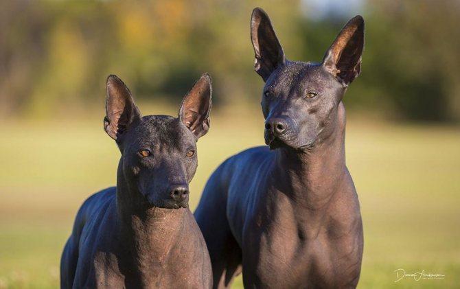Все породы собак без шерсти