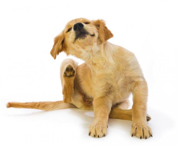 Вши заставляют собаку чесаться