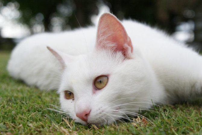 встретить белую кошку на улице