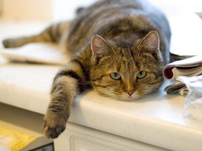 Вялость у кошки