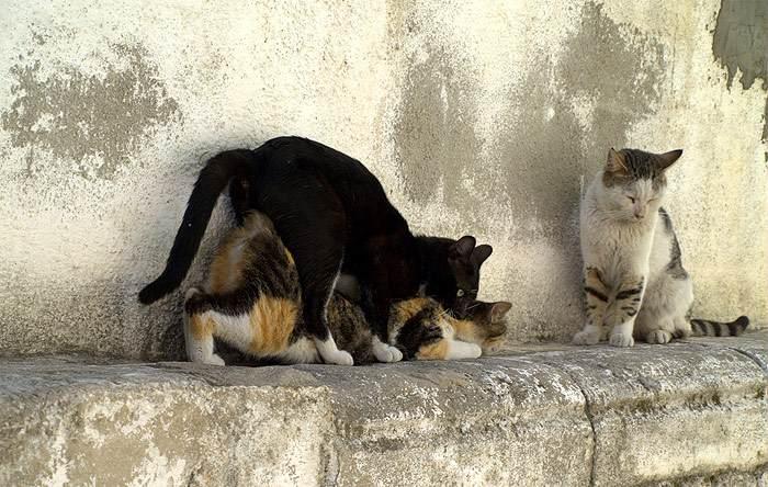 Вязка кошек, кошки занимаются сексом, фото фотография