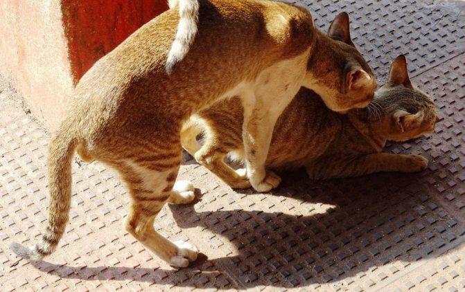 Вязка - самый простой способ успокоить кошку