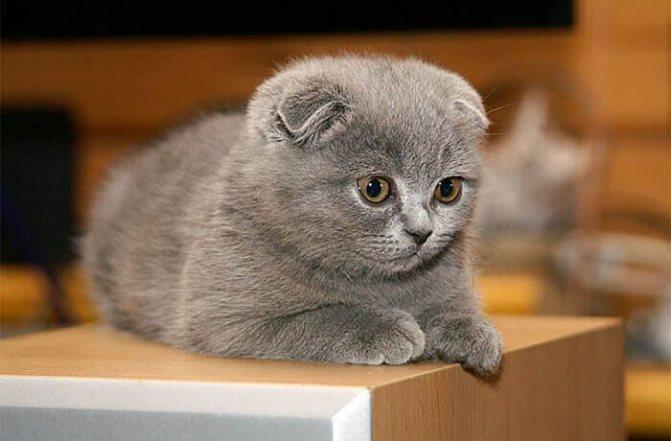 Выбор клички для шотландского вислоухого котенка