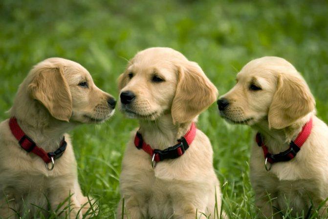 Выбор щенка для квартиры