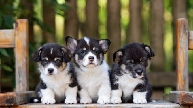 Выбрать щенка для дома