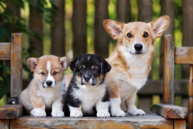 Выбрать щенка для квартиры