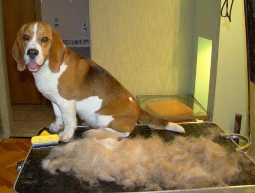 Выческа свалявшейся шерсти у собаки фурминатором