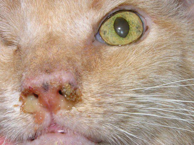 выделения из носа у кота