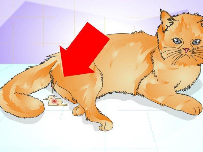 Выделения у кошек из петли
