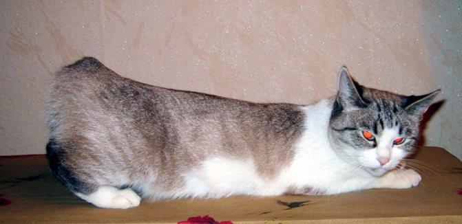 Выгибание кошки свидетельствует о готовности и потребности в случке