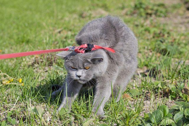 Выгул кошки на шлейке