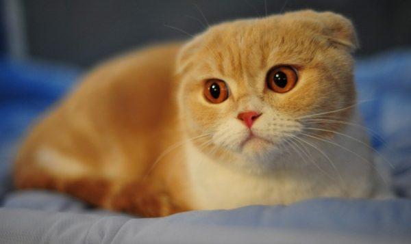 Вылечить опасное вылизывание шерсти у кота может только специалист
