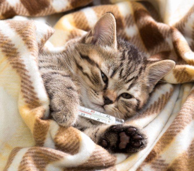 Высокая температура у кошки