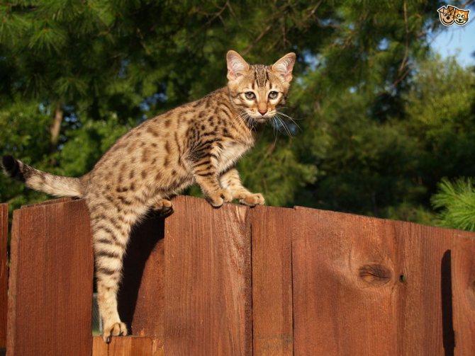 высокий кот
