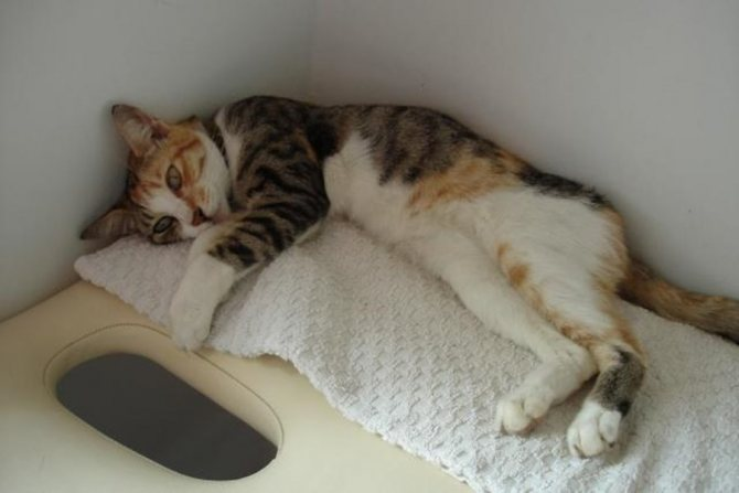 Вывести кошку из анорексии и глубокой депрессии непросто