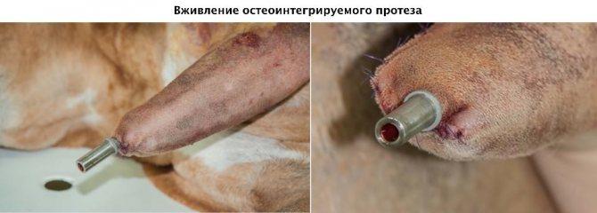 Вживление остеоинтегрируемого протеза собаке