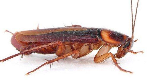 Взрослый рыжий таракан