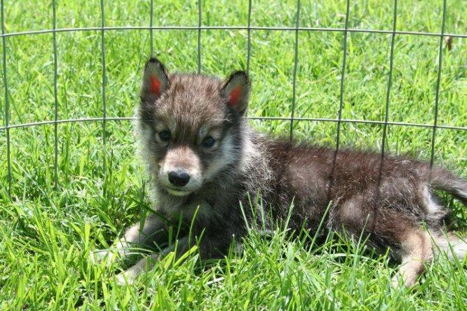 Волкособ: одомашненный волк или особый вид собаки? 5