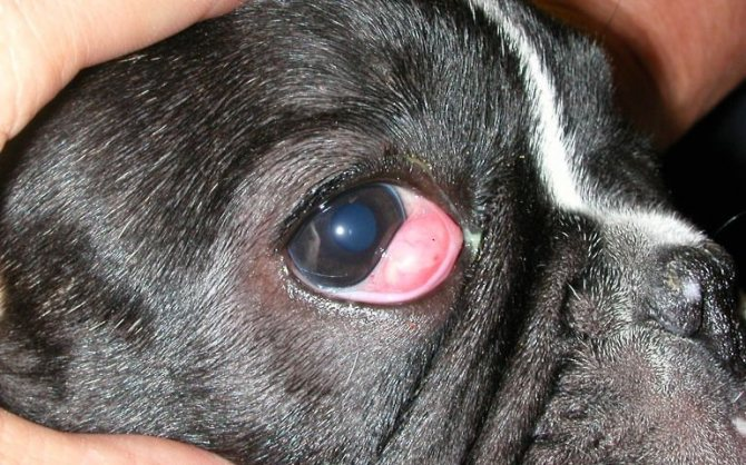 Ячмень у собаки симптомы