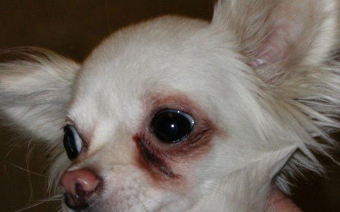 Ячмень у собаки удаление