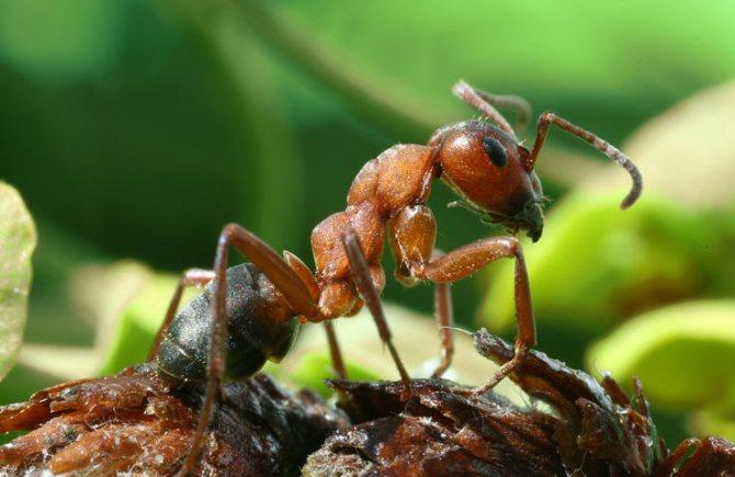 ядовитые муравьи