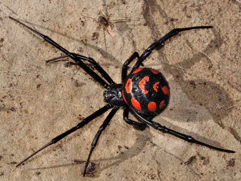 Ядовитый паук Каракут
